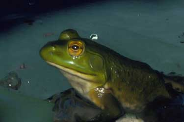 closeup of bullfrog at night