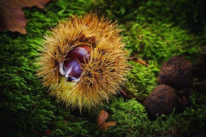 prickly chestnut on ground
