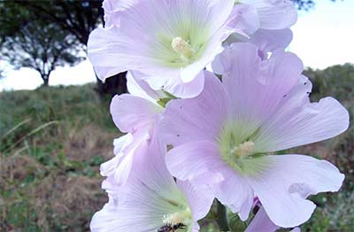 The original marshmallow was not made with gelatin, but rather the root of the marsh mallow plant (Althaea officinalis)