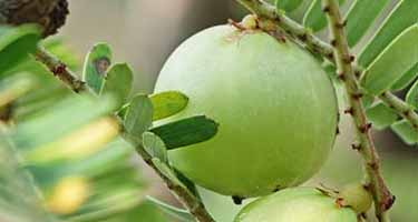 Indian gooseberry, amla berry