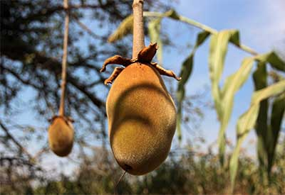 baobab fruit hanging on tree