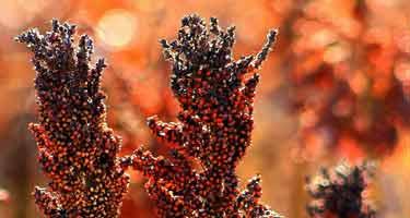 black sorghum grain