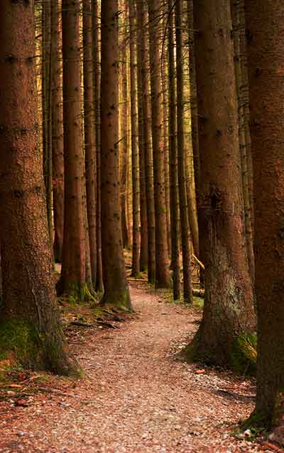 hiking path in pine forest