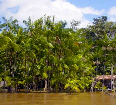 acai palms in Brazil swamp