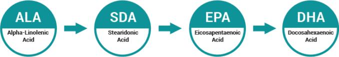 ALA conversion process to EPA and DHA
