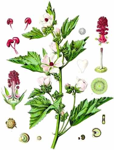 althaea officinalis plant