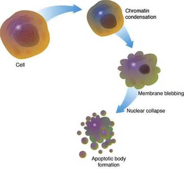 apoptosis process