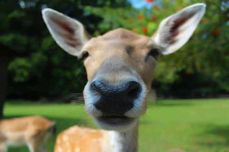 closeup of baby reindeer nose