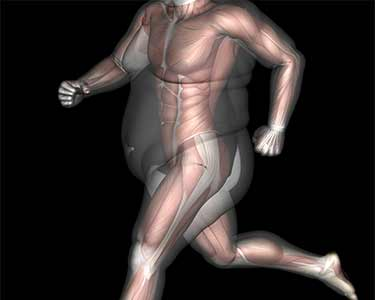 computer model of fat over muscle