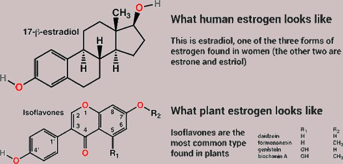 differences and similarities between estrogen and phytoestrogen