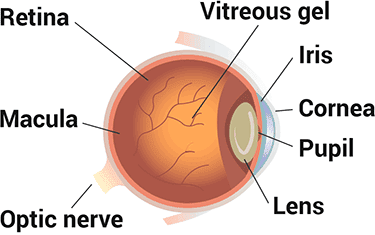 parts of human eyeball