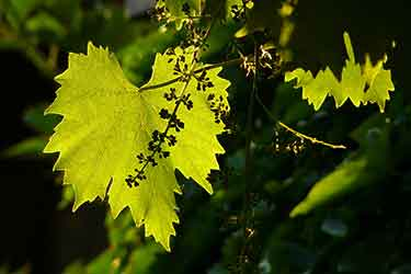 leaf on grape vine