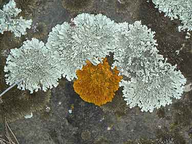 lichens growing on rock