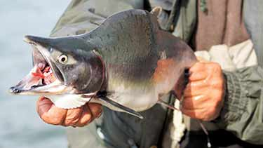 man holding live salmon with mouth open