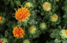 safflowers blooming