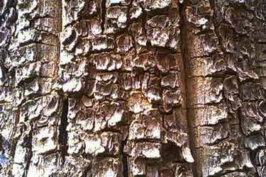 red sandalwood tree bark