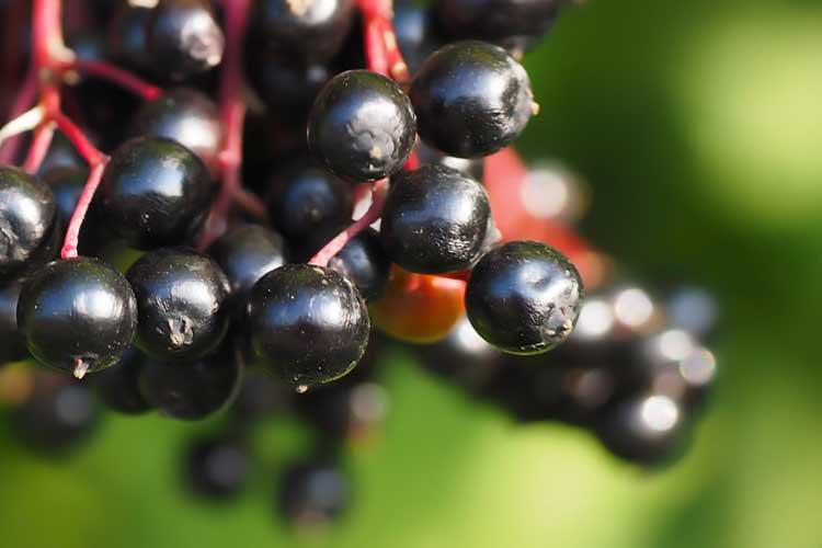 black elderberries on bush