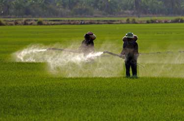 men in rice field spraying pesticides