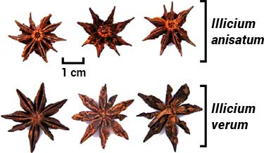 visual differences between true Chinese and Japanese star anise