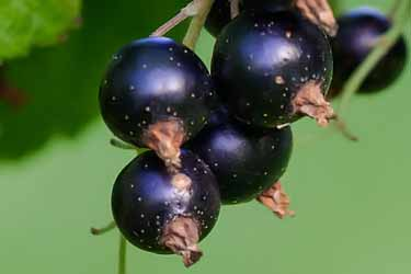 black currants on bush