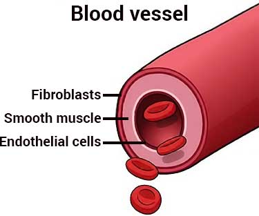 diagram of cell types in blood vessel