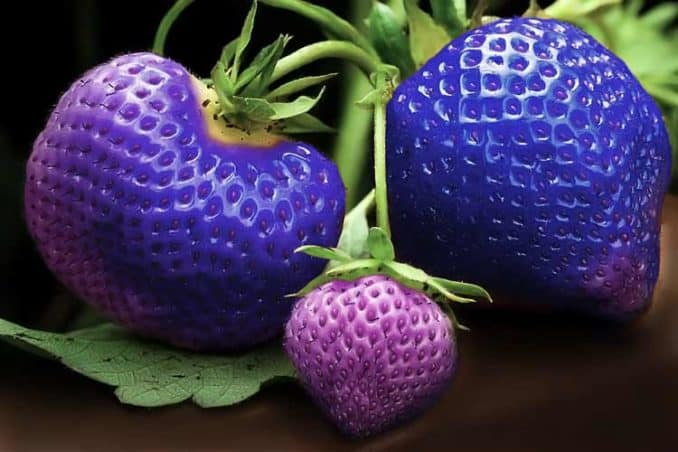 photo of blue strawberries on plant