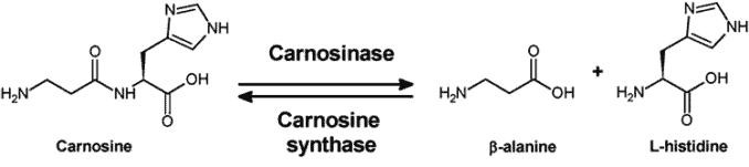 carnosinase conversion process of L carnosine to beta alanine and histidine