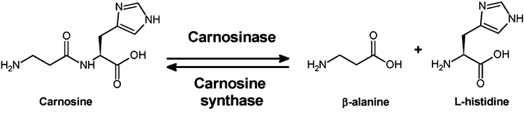carnosinase conversion process of L carnosine to beta alanine and histidine