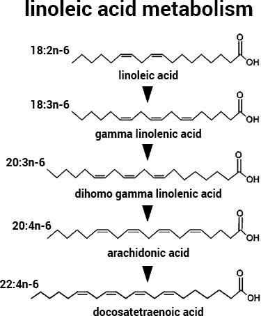 cómo el ácido linoleico se convierte en ácido gamma linolénico