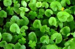 living gotu kola herb