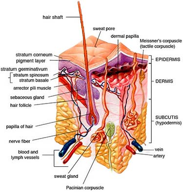 human dermal papillae (DP) hair and skin anatomy
