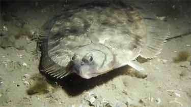 winter flounder underwater