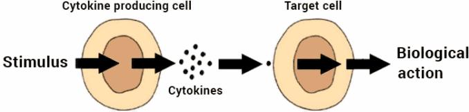 diagram of how cytokines work