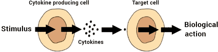 diagram of how cytokines work