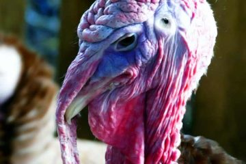 closeup photo of turkey's face