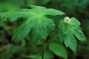 goldenseal plant