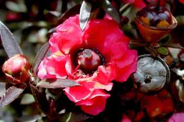 Manuka flower