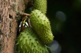 soursop on tree
