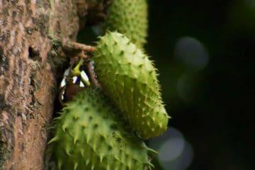 soursop on tree