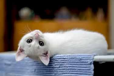 white cat with head upside down