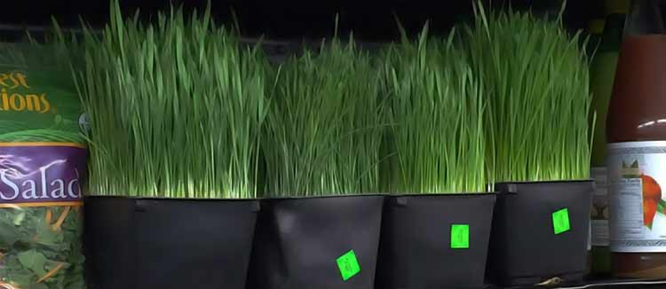 wheatgrass plants for sale at grocery store
