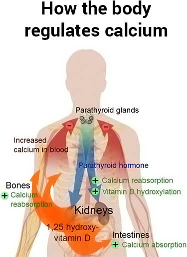 calcium regulation in the body