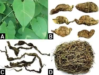 Fallopia multiflora, leaves and root photos