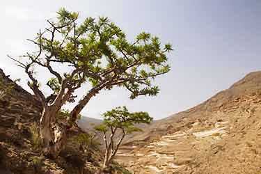 frankincense tree in desert