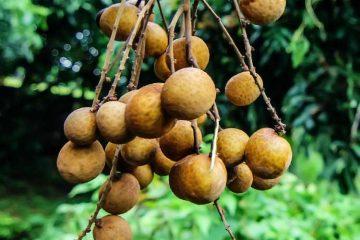fresh longan hanging on tree