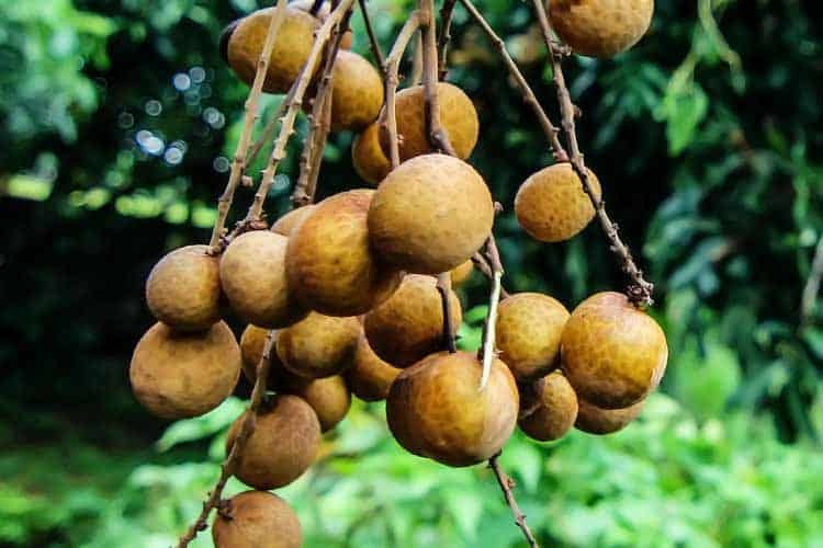fresh longan hanging on tree