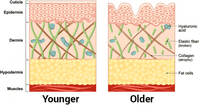 diagram of changes in young vs. old skin cells