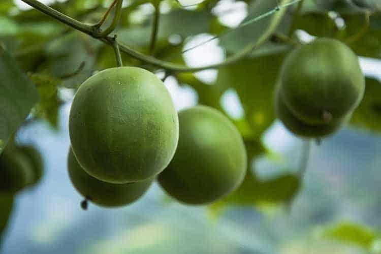 fresh monk fruit on tree
