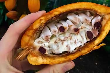 what inside of raw cacao pod looks like