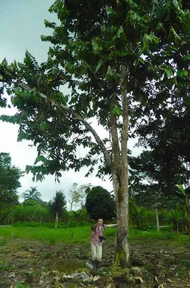 Theobroma bicolor tree